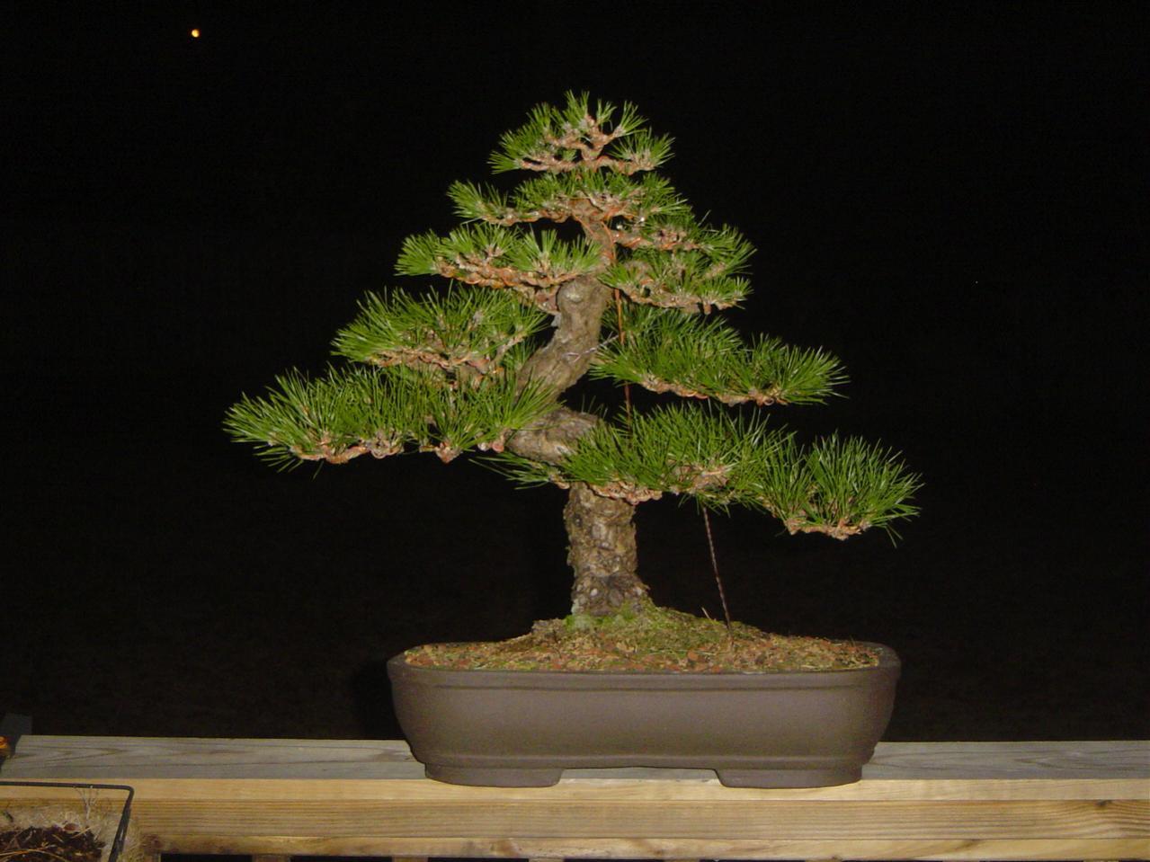 guy wire primer nebari bonsai rh nebaribonsai wordpress com Spruce Bonsai Spruce Bonsai