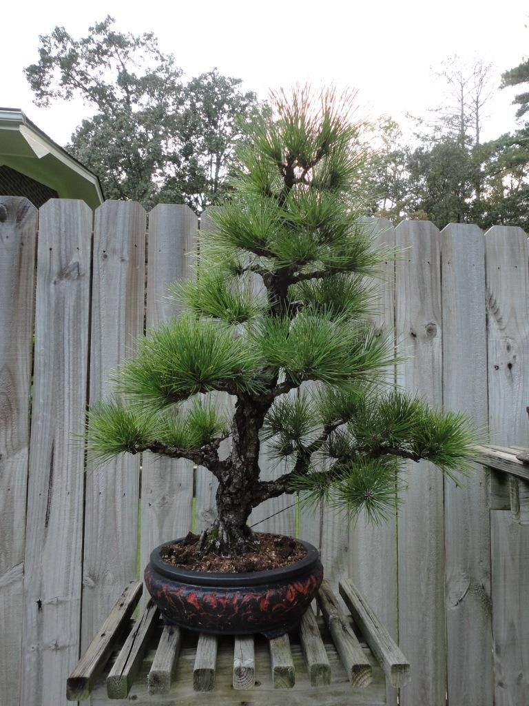 japanese black pine | Nebari Bonsai