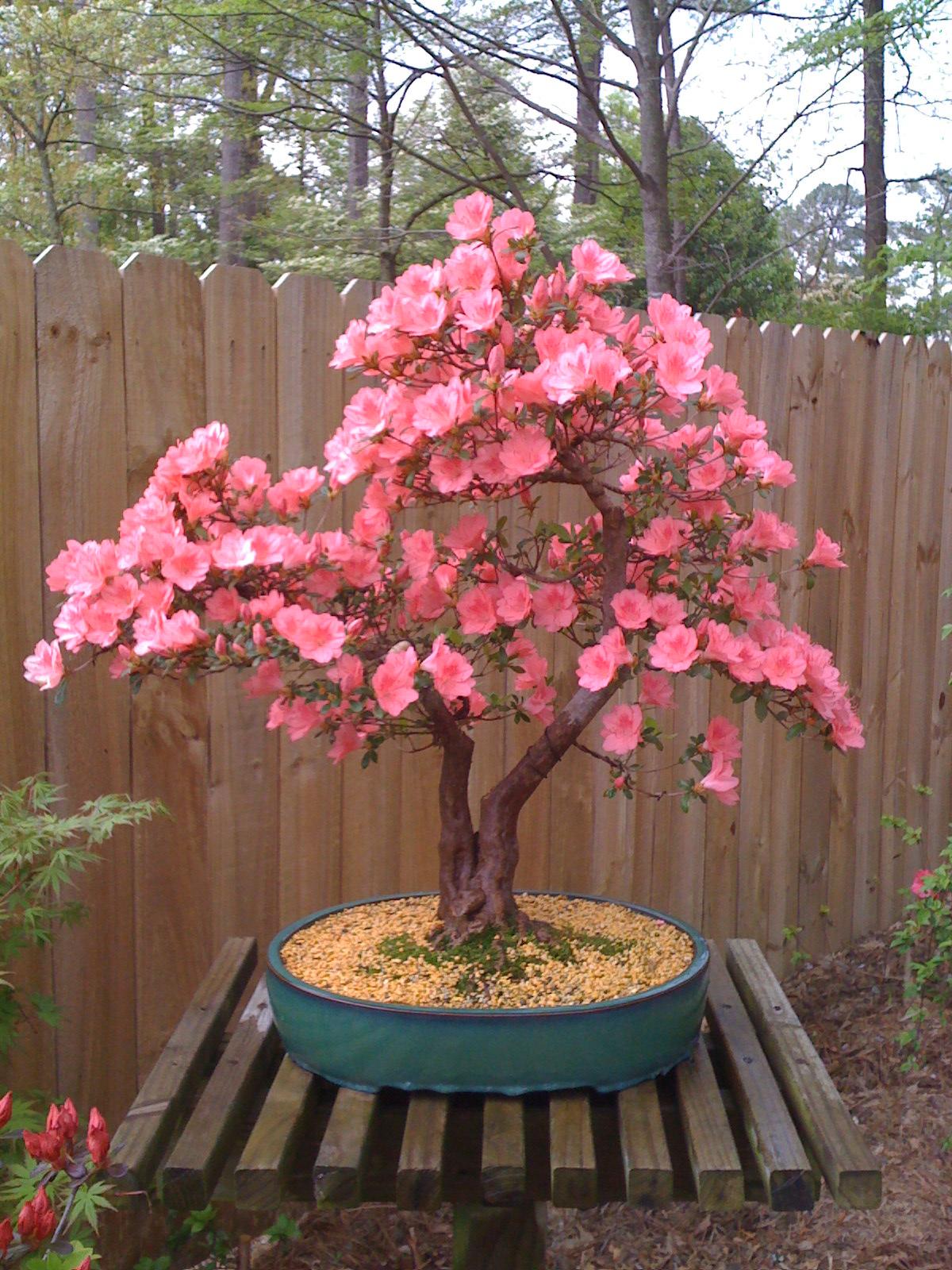 Kurume azalea through the past quickly nebari bonsai - Bambu cuidados en maceta ...