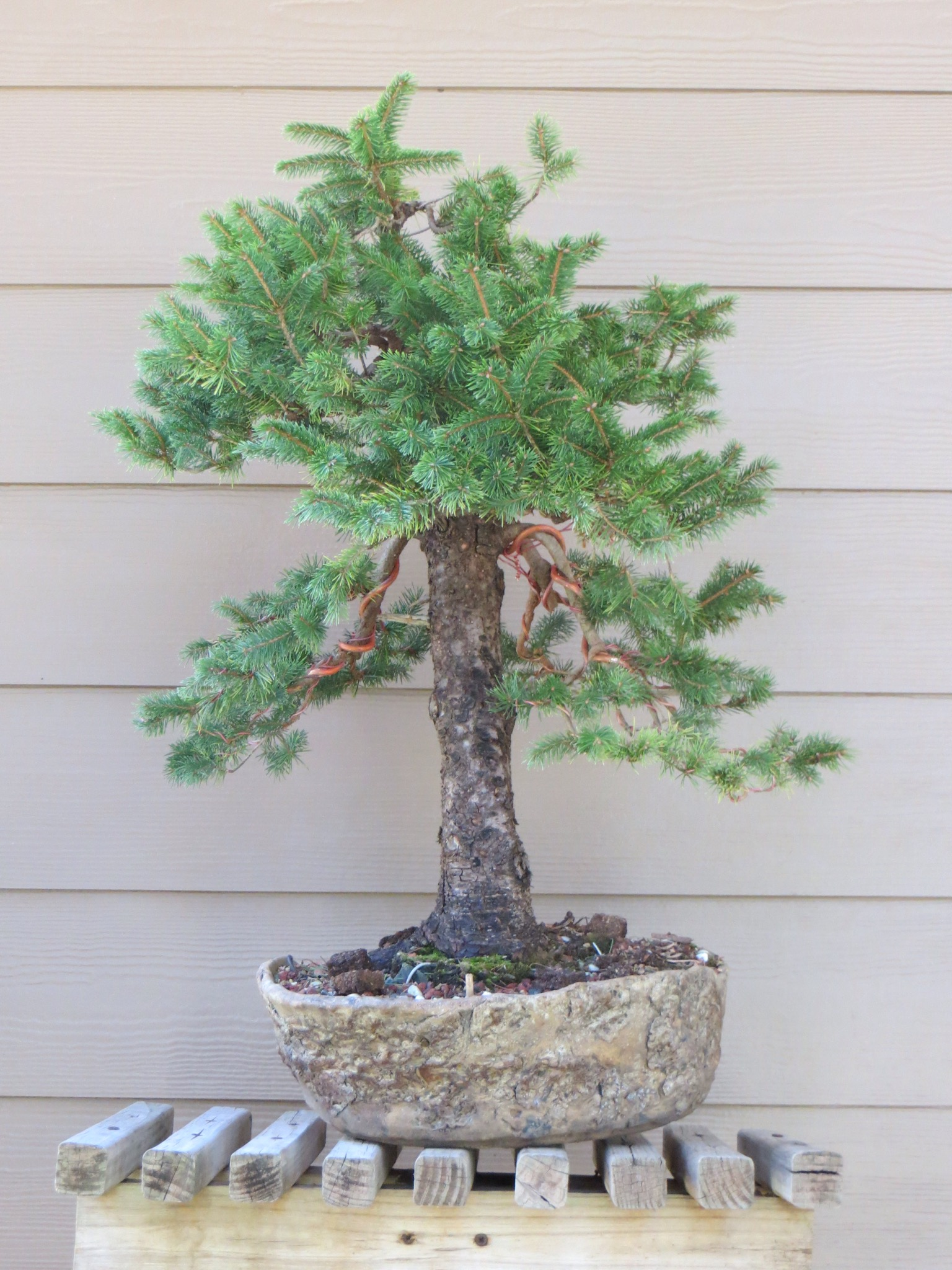 ezo spruce pruning and wiring nebari bonsai rh nebaribonsai wordpress com Cedar Bonsai Cypress Bonsai