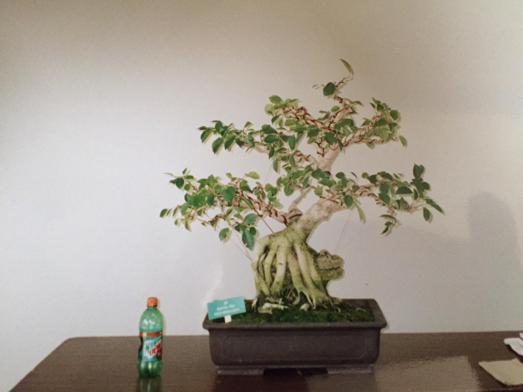 Tbt Pruning And Wiring A Ficus 1998 Nebari Bonsai