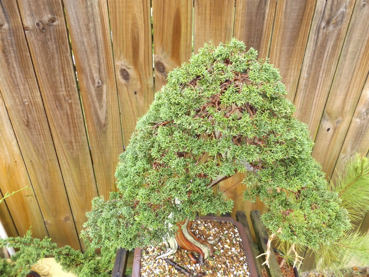 Juniper pinching, pruning, and wiring