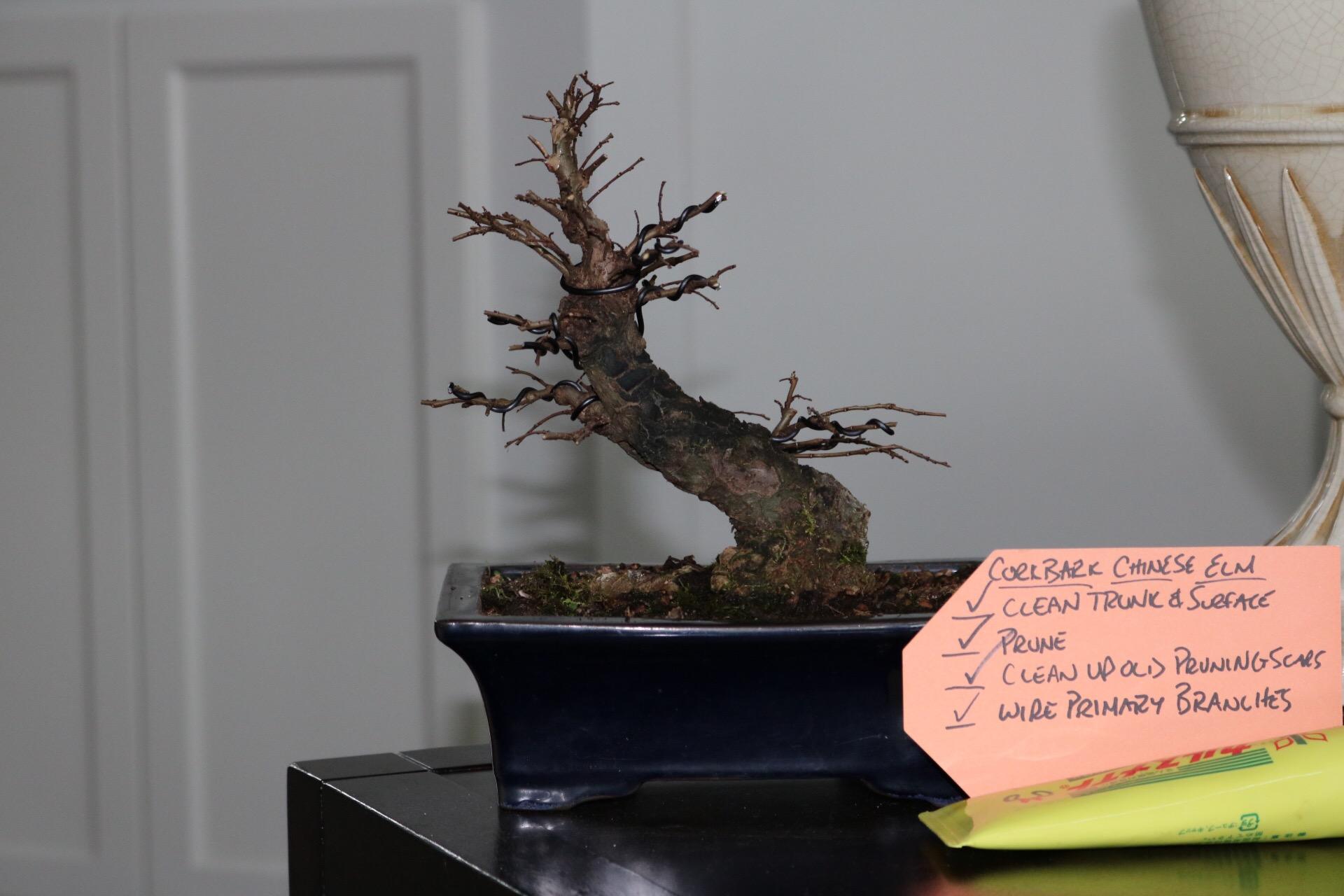 chinese elm nebari bonsai rh nebaribonsai wordpress com Types of Bonsai Trees Deciduous Trees