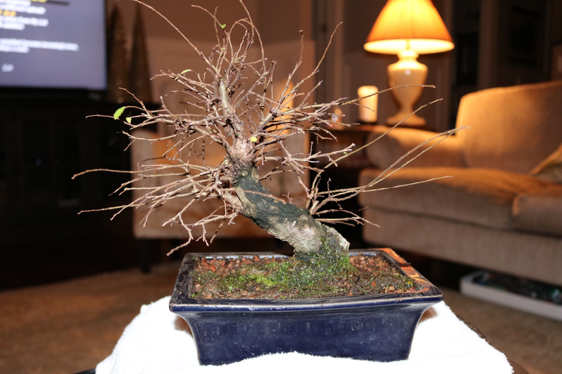 chinese elm nebari bonsai rh nebaribonsai wordpress com Bonsai Plants Bonsai Tree