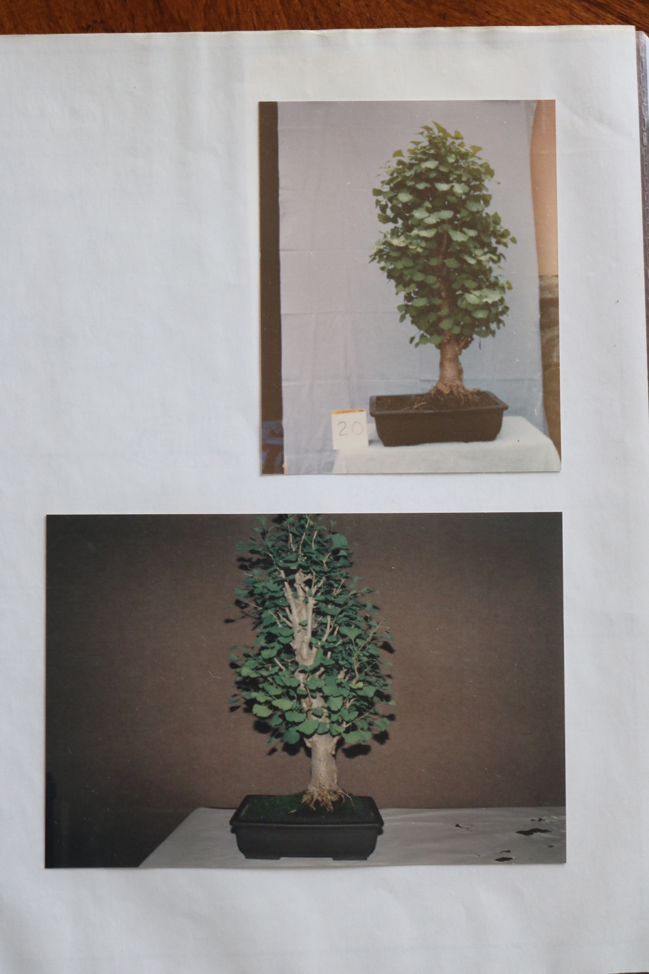History Nebari Bonsai