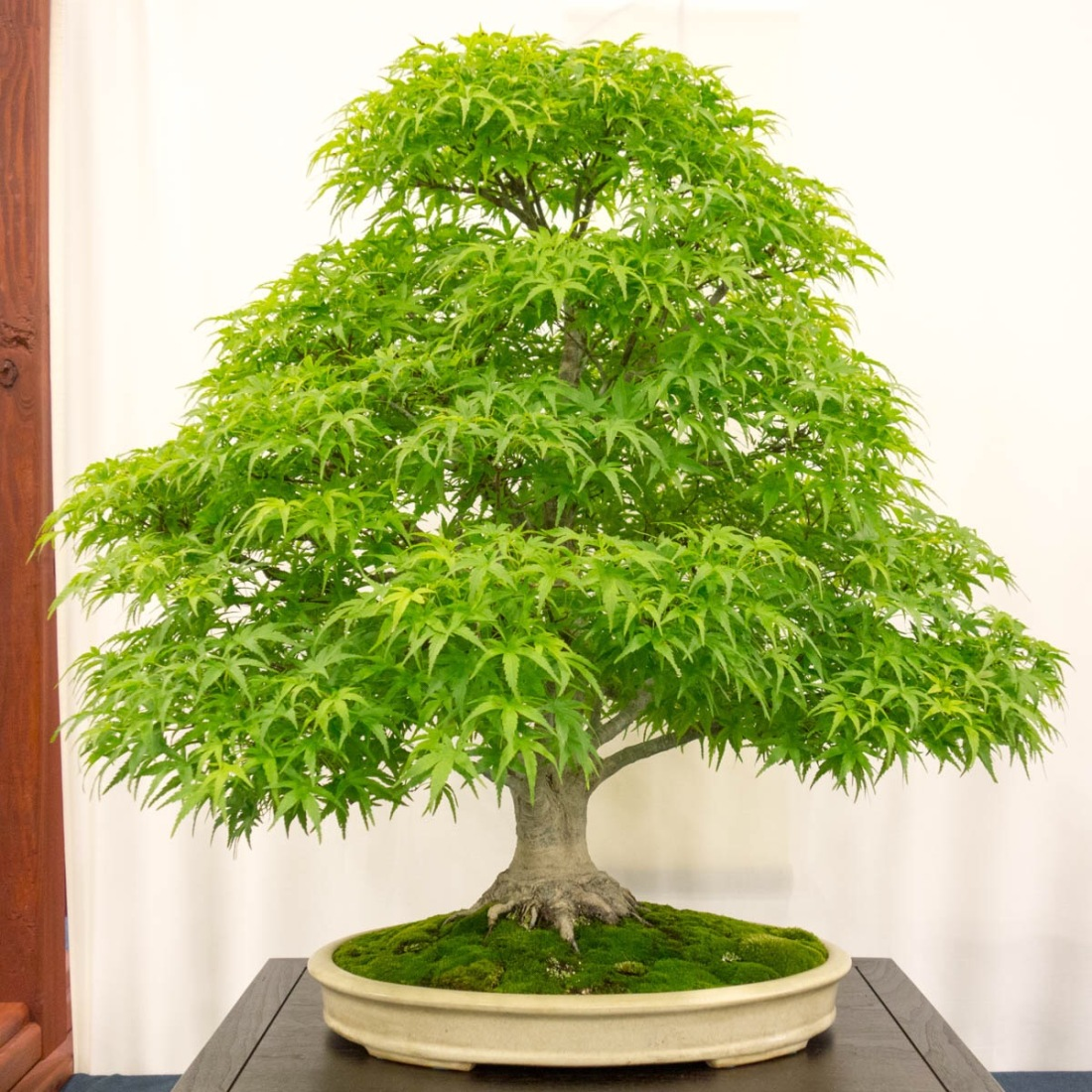 Sharps pygmy Japanese maple