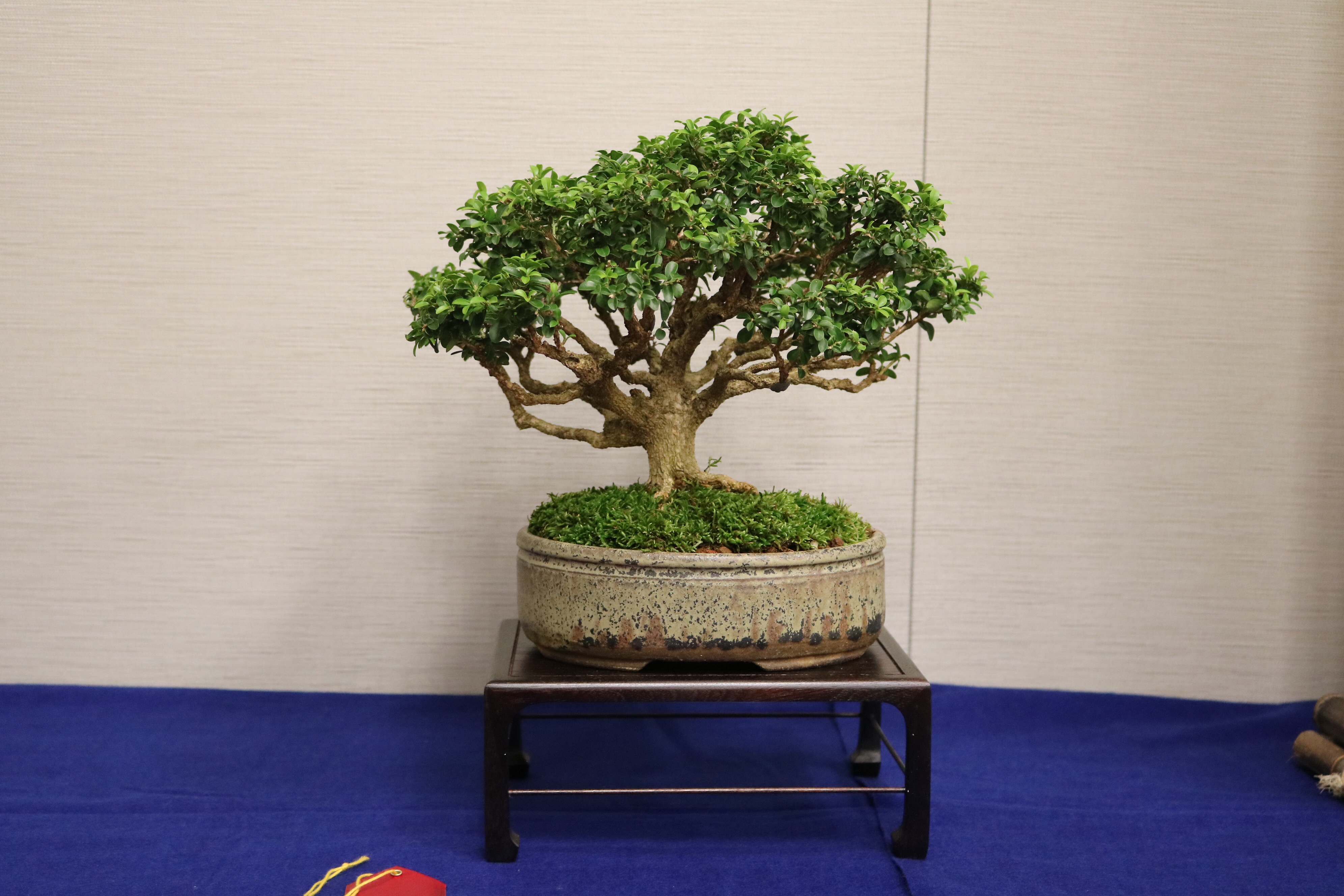 Am bonsai espino albar yamadori - Bonsai verdecora ...