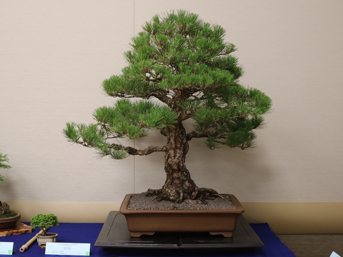 Alabama Bonsai Society Spring Show 2018 part 5