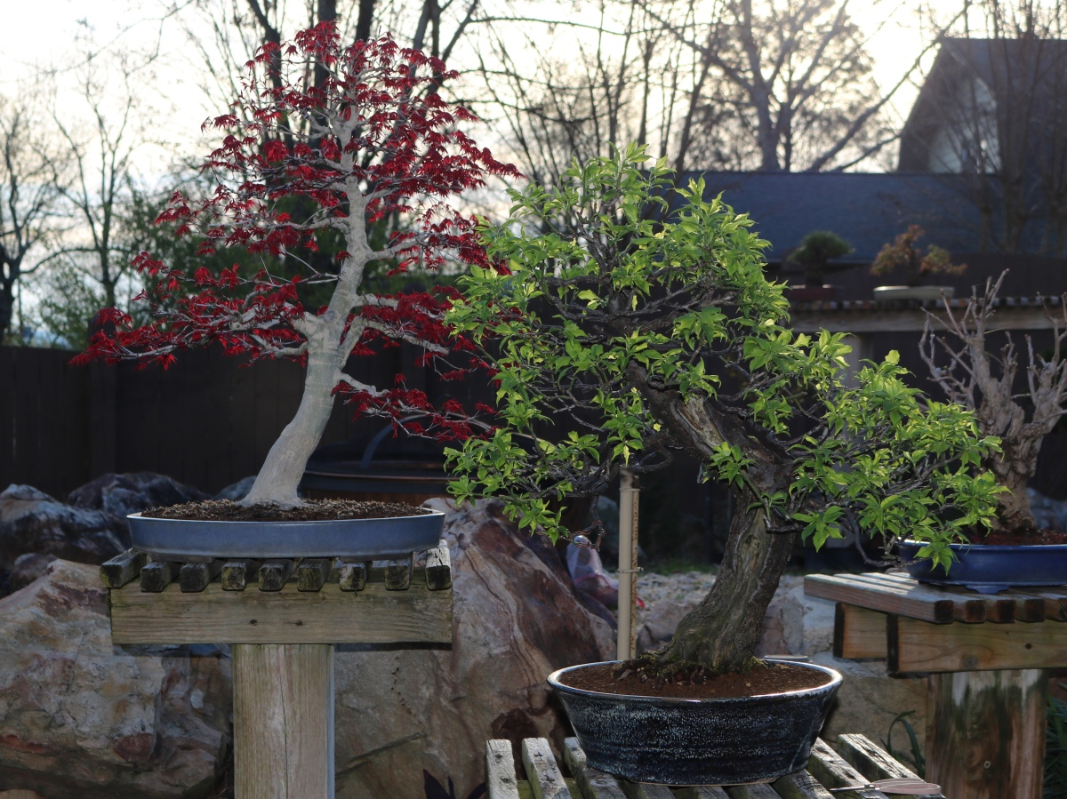 2019 Prunus Mume vs Japanese Maple repot