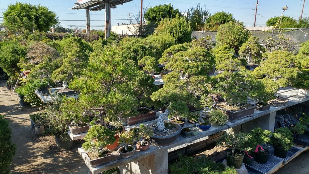 A Visit To Chikugo En And The Elusive Kiyozuro Nebari Bonsai