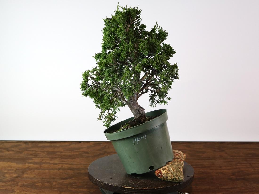 Repotting The Kiyozuru Juniper Nebari Bonsai