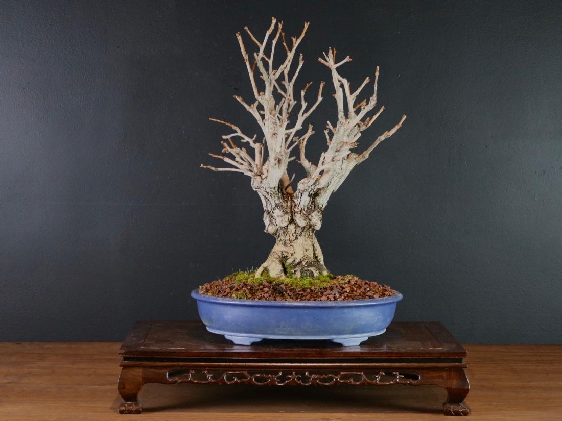 Ginkgo Nebari Bonsai